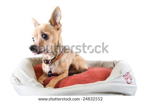 a tiny chihuahua in a pet bed - stock photo
