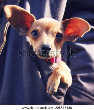 a tiny chihuahua in a pocket of a sweatshirt - stock photo