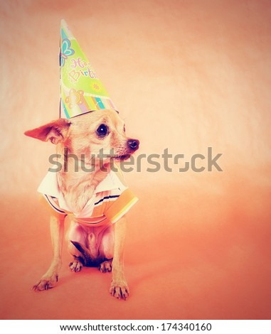 a tiny chihuahua in party attire done with a vintage retro instagram filter - stock photo