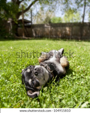 a tiny chihuahua lying in the grass - stock photo