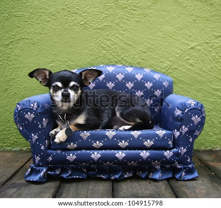 a tiny chihuahua lying on a couch - stock photo