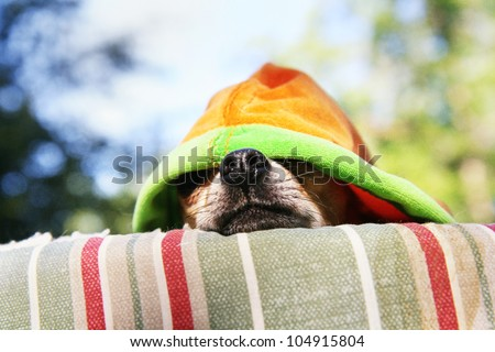 a tiny chihuahua lying on a pet bed with a hoodie on - stock photo