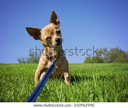 a tiny chihuahua on a grassy hill - stock photo