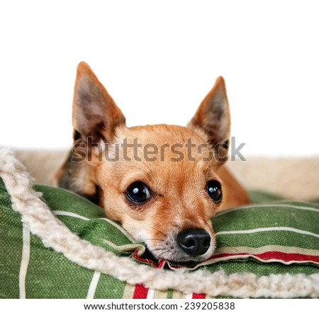 a tiny chihuahua on a pet bed white isolated background  - stock photo