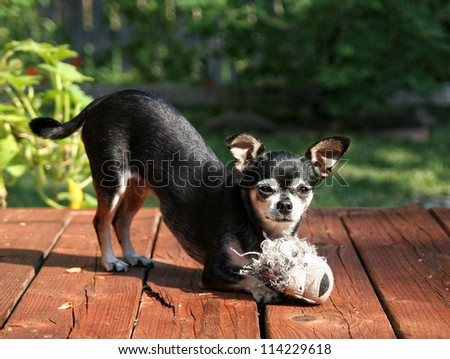 a tiny chihuahua playing with his stuffed white tiger toy on a deck outside - stock photo