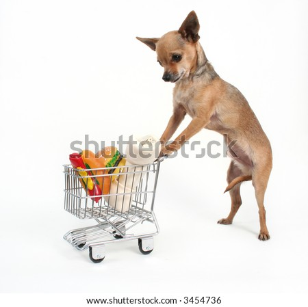 a tiny chihuahua shopping for groceries - stock photo
