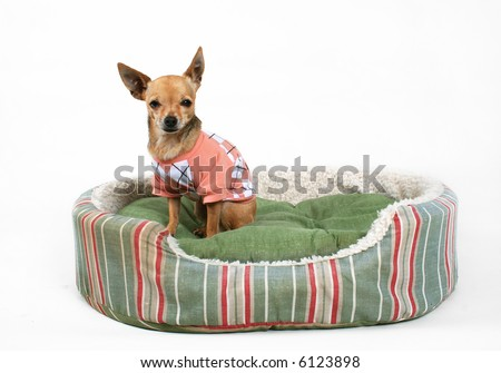 a tiny chihuahua sitting in a pet bed - stock photo