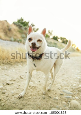 a tiny chihuahua walking on a canal bank winking his eye - stock photo
