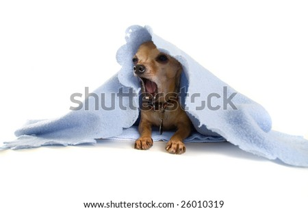 a tiny chihuahua with a blue blanket