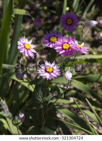 A  tiny  clump of decorative  Australian deep  pink  Everlastings or Paper Daisies  species in  genera Xerochrysum  family Asteraceae  growing in King's Park, Perth, Western Australia in spring. - stock photo
