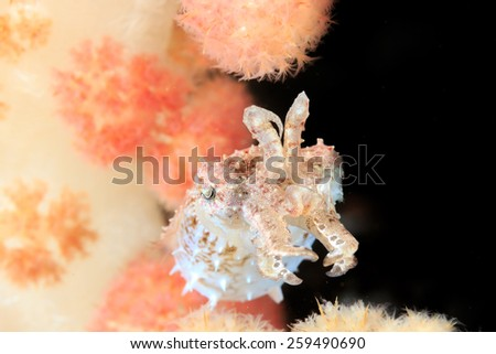 A tiny Crinoid Cuttlefish hiding amongst soft coral on a reef - stock photo