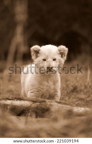 A tiny cute white lion cub in this sepia tone portrait - stock photo