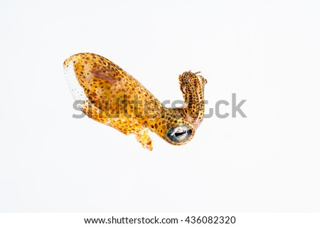 A tiny grass squid (Pickfordiateuthis pulchella) on a white background. Image made off Eleuthera Island in the Bahamas. - stock photo