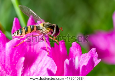 A tiny hoverfly (Sphaerophoria menthastri) is on a Chinese pink (Dianthus chinensis) flower.