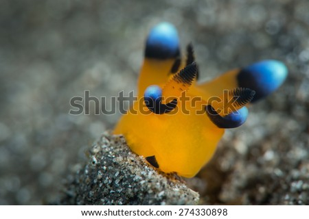 a tiny juvenile picatchu nudibranch from the thecacera family with beautiful blue tips moving on the black sand