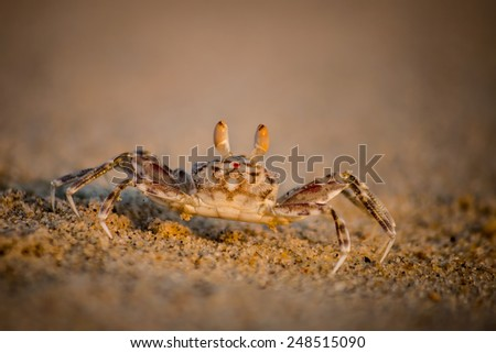 A tiny shy crab on a beach - stock photo