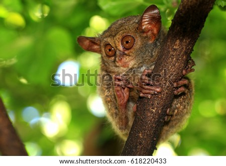 A Tiny Tarsius, Tersier in a tree in the jungle