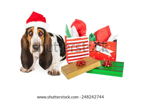 A tired Basset Hound puppy dog with bloodshot eyes sitting next to Christmas presents