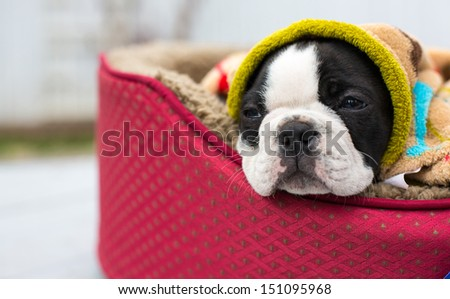 A tired Boston Terrier puppy sleeps in his bed outside on a porch/Tired Boston Puppy - stock photo