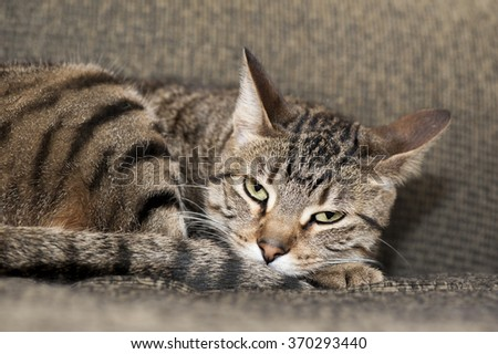 A tired cat looks annoyed at the out-of-photo individual annoying her as she tries to nap - stock photo