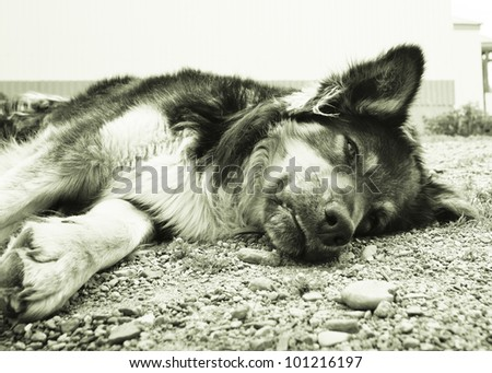 A tired german shepperd lying on the soil