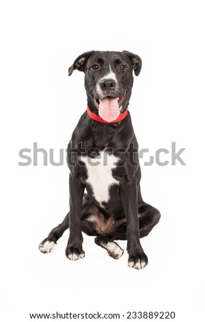 A tired looking Labrador Retriever Mix Breed Dog sitting while looking at the camera.  - stock photo