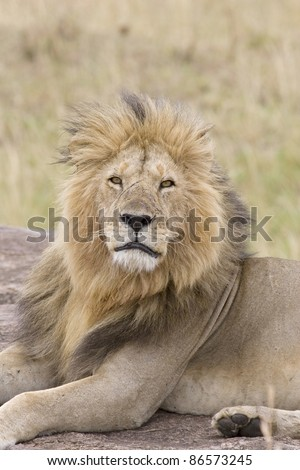 A tired male lion returns to the pride after days of being away.