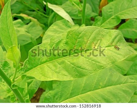 A tobacco plant.  - stock photo
