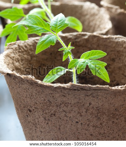 A tomato plant which is a month old.