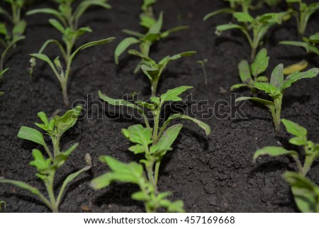 A tomato. Solanum lycopersicum. Seedlings of tomatoes in boxes. Small sprouts planted rows of tomatoes
