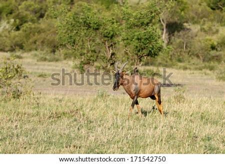 A Topi antelope in Masai Mara park - stock photo
