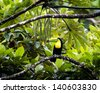a toucan sits on a tree limb ready to partake in a delicious meal of bean pods in the tree - stock photo