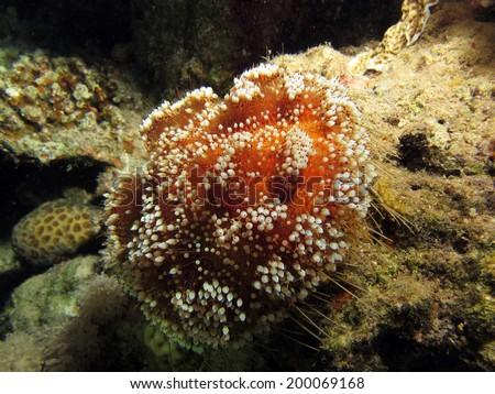 A toxic red sea urchin (fire urchin, echinoderm) at night - stock photo
