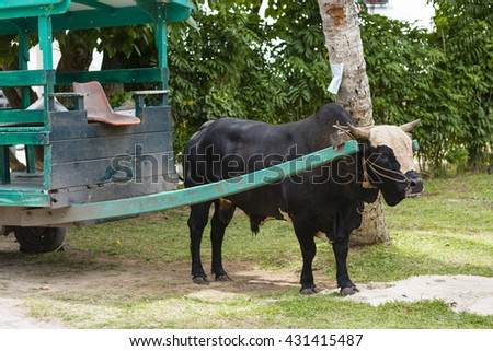 A traditional ox cart in the main street of La Digue, Seychelles