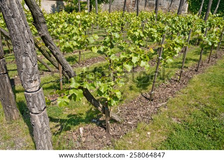 a traditional wineyard in the spring time