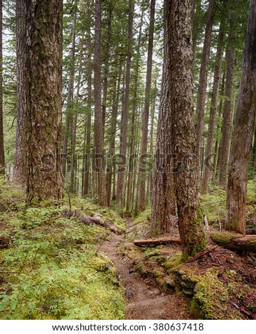 A trail weaves downward through towering trees on the High Divide/Seven Lakes Trail, in Olympic National Park, near Port Angeles, Washington.