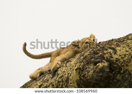 A tree-climbing lion cub peers up from his resting point on an acacia tree in Serengeti National Park, Tanzania. - stock photo