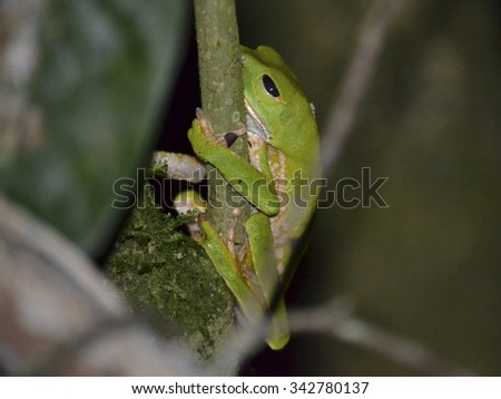 A Tree Frog in the Peruvian Amazon