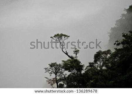 A tree in the cloud forests of Ecuador with grey background - stock photo