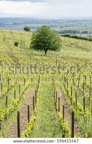 A tree in the vineyard in Ribeauville, Alsace, France