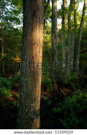 A Tree is highlighted by the late afternoon sun in a thick forest
