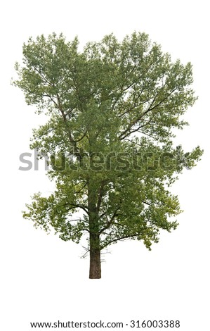 a tree isolated on white - stock photo
