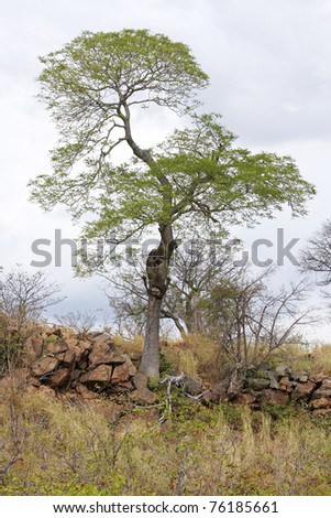 A tree outlined against the sky on a rocky ridge in African savanna
