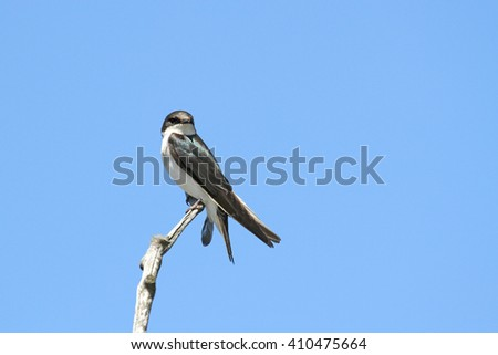A Tree Sparrow on a branch, with a blue sky for the background.