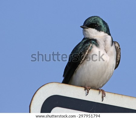 A Tree Swallow (Tachycineta bicolor) sitting on a sign.  Shot in Bloomingdale, Ontario, Canada.  - stock photo