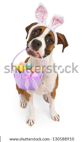 A tri-colored Boxer dog sitting down and looking up while wearing bunny ears and holding an Easter Basket in her mouth