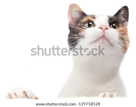 A tricolor cat, isolated on a plain, white background, looks up, horizontal images - stock photo