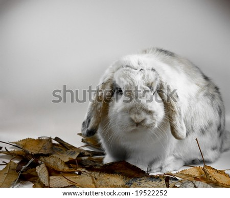 a tricolor lop rabbit with leaves on a white background