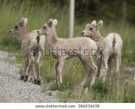 A trio of big horn sheep lambs huddle together as they learn to navigate roadway shoulders in Banff National Park, Alberta, Canada. - stock photo