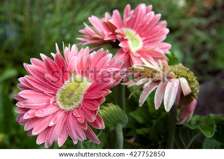 A trio of bright pink mutant gerber daisies on a green background.  - stock photo